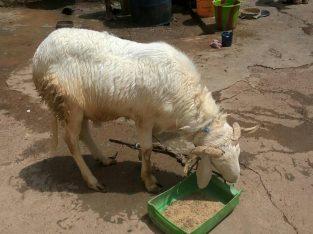 Moutons disponibles
