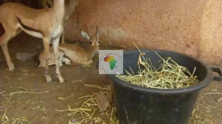 Gazelle à vendre par paires